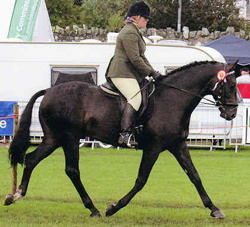 warmblood studbook uk stallion horse breeders